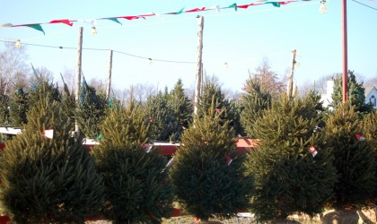 Balled Christmas Trees