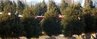 Live Potted Christmas trees available